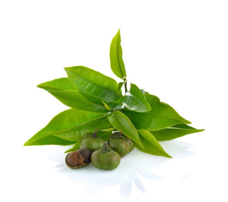 Camellia Sinensis Green Tea