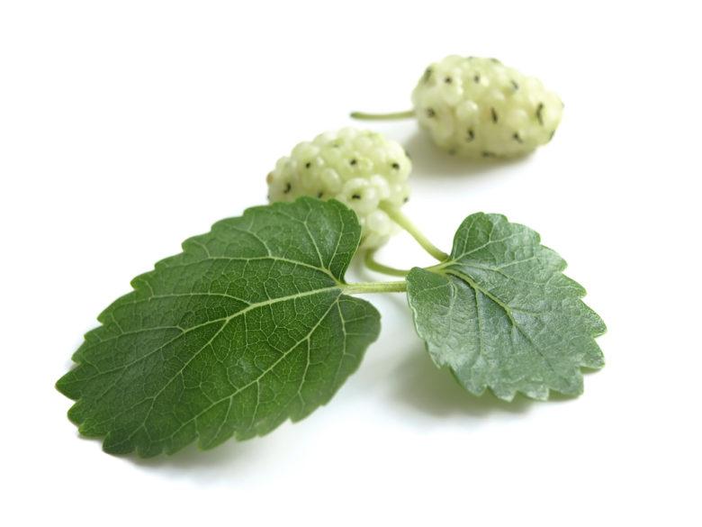 Morus Alba White Mulberry