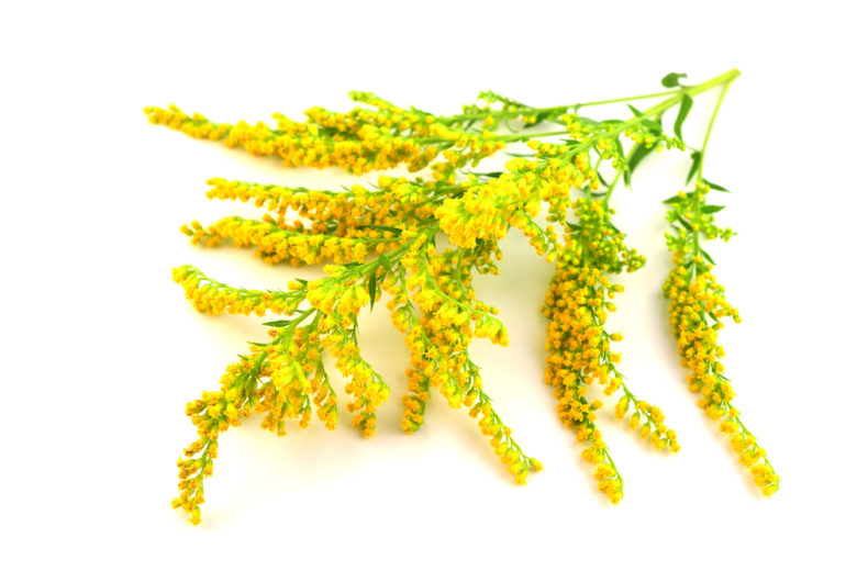 Solidago Goldenrod Extract