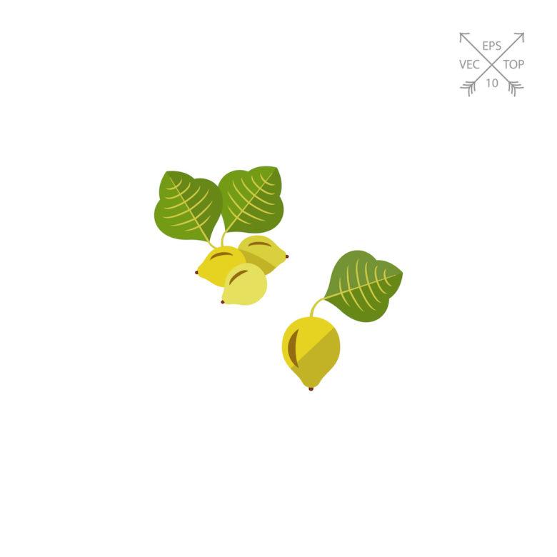 Terminalia Ferdinandiana Kakadu Plum