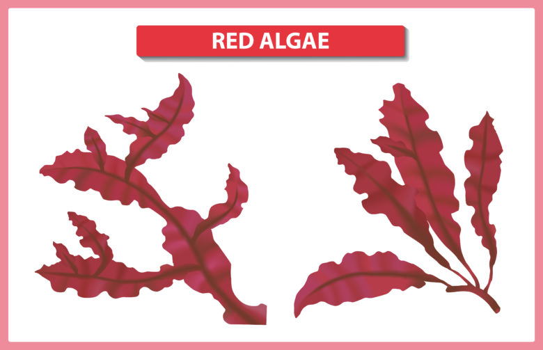 Red Algae in Skincare